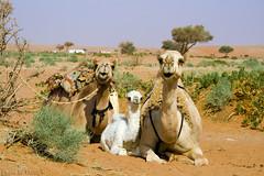Safest place is beside mom - Explore (TARIQ-M) Tags: texture landscape sand waves desert dunes camel camels riyadh saudiarabia بر الصحراء جمال الرياض صحراء رمال جمل ابل رمل طعس كانون نياق المملكةالعربيةالسعودية canon400d الرمل ناقة خطوط صحاري حاشي نفود الرمال كثبان براري تموجات canonefs18200mmf3556is رحول تموج نفد