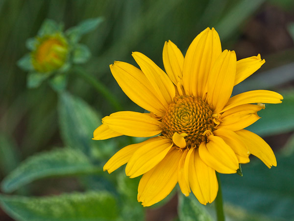 'Loraine Sunshine' False Sunflower