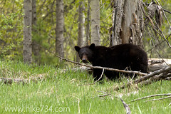 "Black Bear • <a style=""font-size:0.8em;"" href=""http://www.flickr.com/photos/63501323@N07/5884459851/"" target=""_blank"">View on Flickr</a>"