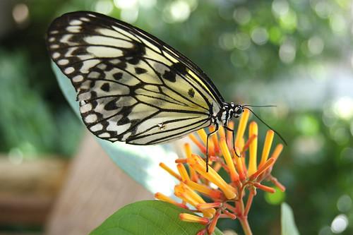 ButterflyPavilion6-butterfly