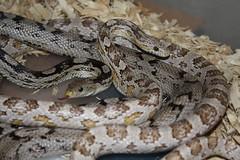 Ultramel Corn Snake Corn Snake Pantherophis