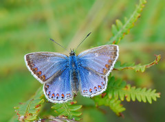 Common Blue Butterfly Female Polyommatus icarus (michaelgslattery) Tags: blue ireland nature butterfly clare