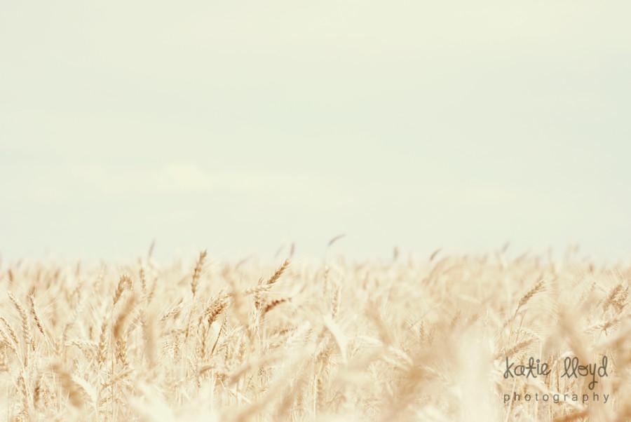 wheat-harvest-2