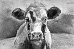 Calf in Charcoal (jennyfrith) Tags: cow drawing charcoal calf