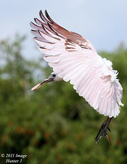 Juvenile Roseate Spoonbill (Image Hunter 1) Tags: pink blue trees sky nature birds flying wings louisiana flight feathers landing bayou swamp greenery marsh juvenile wingspan fledgling spoonbill roseatespoonbill wingspread t2i birdslouisiana canont2i