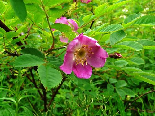 Rosier des Alpes=Rosa alpina=pendulina- Collet Allevard 048