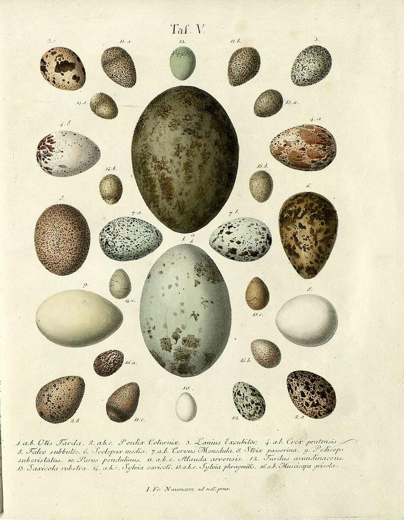 Die Eier der Vögel Deutschlands a, 1818
