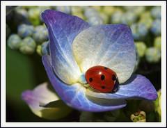 Ladybird (Jan Gee) Tags: flower macro nature natur natuur ladybird ladybug bloem hortensia lieveheersbeestje wonderfulworldofmacro mygearandme ringexcellence blinkagain bestofblinkwinner blinkagian