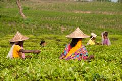 Picking Tea Outside Srimongal, Bangladesh (uncorneredmarket) Tags: people tea bangladesh teagardens teaestates manuallabor srimongal teaplantations ruralbangladesh teapickers sylhetdivision sreemangal