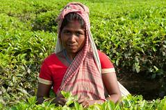 Picking Tea Leaves - Srimongal, Bangladesh (uncorneredmarket) Tags: people tea bangladesh teagardens teaestates manuallabor srimongal teaplantations ruralbangladesh teapickers sylhetdivision sreemangal