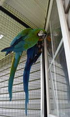 She's MINE!  :-) (RLBrinkman~in and out-mostly out) Tags: birds aviary pars macaws