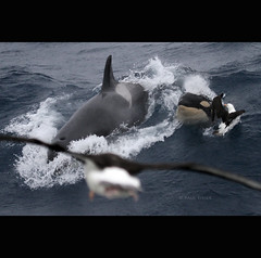 above (Paul Tixier) Tags: orca killerwhale albatross crozet