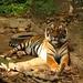 Tigre, salvo do comércio ilegal de animais