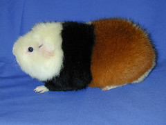 Teddy guinea pigs (efeikiss) Tags: guinea teddy pigs