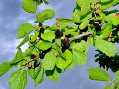 Mulberry (markb120) Tags: greece ellada kamena vourla
