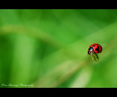 My lady is back :-) (Venu Dharmaji (a bit busy...)) Tags: red india macro green nature beauty animal animals closeup lady bug garden 50mm prime insects explore ladybug nikkor frontpage hpc apps ladyinred raynox tirumala greatnature explorefrontpage nikond60 teamhws thecch