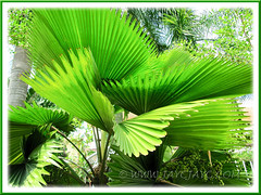 Licuala grandis (Vanuatu/Ruffled Fan Palm, Palas Payung) - attractive fronds atop its slender trunk