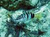 painted comber (robanhk) Tags: day2 underwater aegean snorkeling freediving apnea milos scriba sarakiniko breathhold serranusscriba paintedcomber serranus μήλοσ greece2011