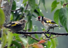 Goldfinch and baby Goldfinch