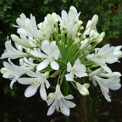 Beautiful White Agapanthus Flowers of Southwark Park, London SE16 @ 18 July 2011 (Kam Hong Leung - Southwark Park) Tags: park summer white plant flower tree green london nature ecology grass animal fauna garden insect spider leaf flora community wildlife lawn meadow conservation petal stamen bermondsey environment leisure prey pollen botany agapanthus grassland wildflower biology horticulture communityservice rotherhithe southwark wetland biodiversity zoology se16 surreydocks londonpark southwarkpark stamina pollinator southwarkcouncil rcsf rotherhithecommunitysafetyforum kamhongleung leungkamhong adasalter friendsofsouthwarkpark lynneolding adasaltergarden