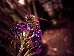 Buzz (mynamesdonny) Tags: our flower macro closeup insect buzz nikon purple bokeh daily bee bumblebee coolpix prickly challenge odc s8100 odc3