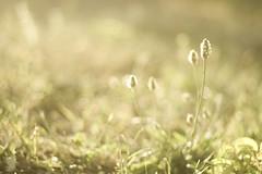 Bokeh in Backlight (Letterbox115) Tags: light italy plant grass backlight 50mm bokeh ground soil m42 17 lit manual rikenon