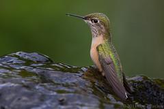 Rufous Hummingbird on a Fountain (rracine1) Tags: canada birds hummingbird bc britishcolumbia places columbia british kelowna rufous rufoushummingbird selasphorusrufus goldwildlife