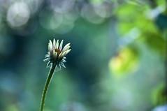 Beginner (Light Echoes) Tags: summer flower macro garden nikon pennsylvania bloom 2011 d90 dmk