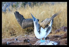 """""""Friends, Romans...lend me your ears"""" (Grievous247) Tags: bird southamerica dance ecuador display sony beak feathers mating endemic rare bluefeet plumage bluefootedbooby galapagosislands a700"""