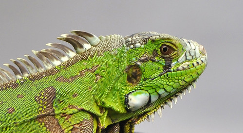 LOOK OF IGUANA / OLHAR DE IGUANA by Arthur Perruci