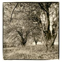 cherry trees (thomagraphy) Tags: bw 6x6 sepia analog mediumformat cherry thomas sw 100 monochrom baum acros heckmann kirschen tanol zweibad catechol