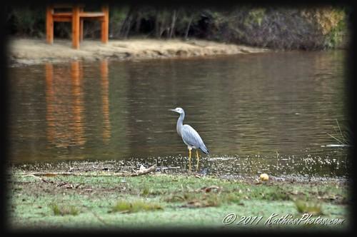 White faced heron at the lake