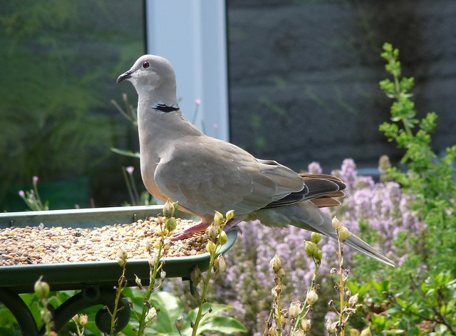 24697 - Collared Dove, Garden