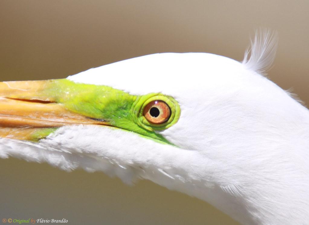 Série com a Garça-branca-grande (Casmerodius albus, sin. Ardea alba) - Series with the Great Egret - 22-01-2011 - IMG 6474