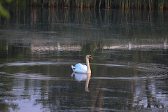 Strebel Pond-003.jpg (raggedyandy321) Tags: heron nature water grass birds reflections swan fishing pond fuzzy signet rare blackbird greatblueheron peacefull beachbird birdsfishing