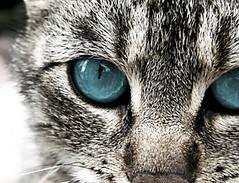 blaue augen (Pixmac_de) Tags: city 2 black detail macro cat daylight sommer haus blau augen haustier frontview anblick countryscenes azur azurblau withoutpeople naturefauna wei exterierscene