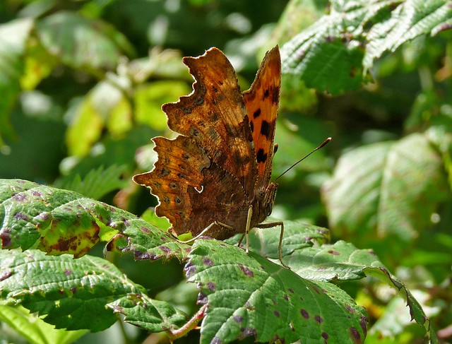 24705 - Comma, Millwood, Gower