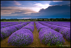 Heacham - Lavender Fields, late afternoon light (Yen Baet) Tags: uk greatbritain flowers england color floral europe blossom unitedkingdom britain norfolk scenic eu british picturesque hunstanton heacham lavenderfields heecham