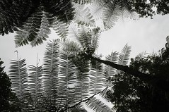 Bali - am Nungnung-Wasserfall (40) unter Baumfarn (dendroaspis2008) Tags: trees bali tree indonesia rboles boom arbres rbol albero bume arbre rvore baum trd indonesien aa   baumfarn
