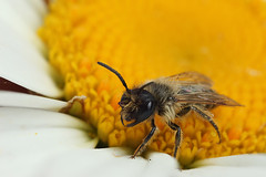 Small miner bee (Lord V) Tags: macro bug insect bee minerbee