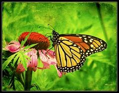 Monarch 11 (MEaves) Tags: flower color macro nature closeup butterfly bug insect illinois monarch bloom toned textured sigma70300 k20d pentaxk20d tatot pentaxart blinkagain bestofblinkwinners