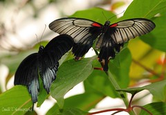 A pair of beauties (Helen 74) Tags: sheffield butterflies tropicalbutterflyhouse canon500d northanston