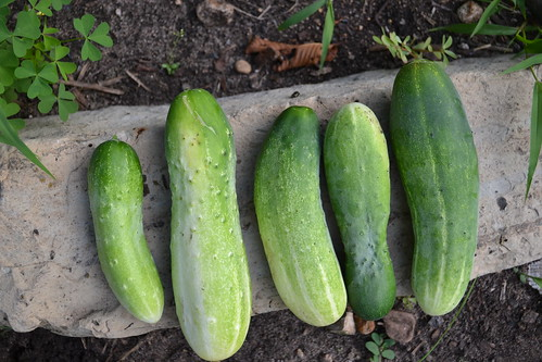 first cuke harvest!