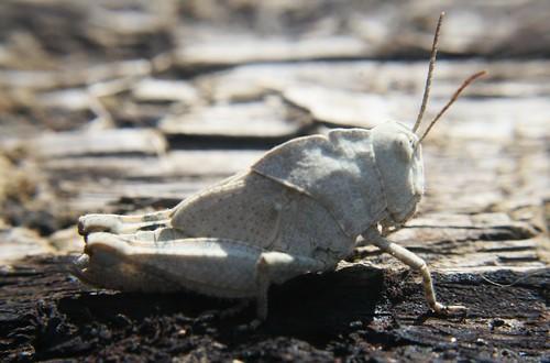 Grey grasshopper