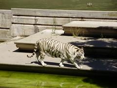 TIGRE BLANCO (Mara Dolores2010) Tags: madrid white blanco animal animals zoo tiger tigre whitetiger zooaquarium zoodemadrid tigreblanco zooaquariumdemadrid flickrbigcats