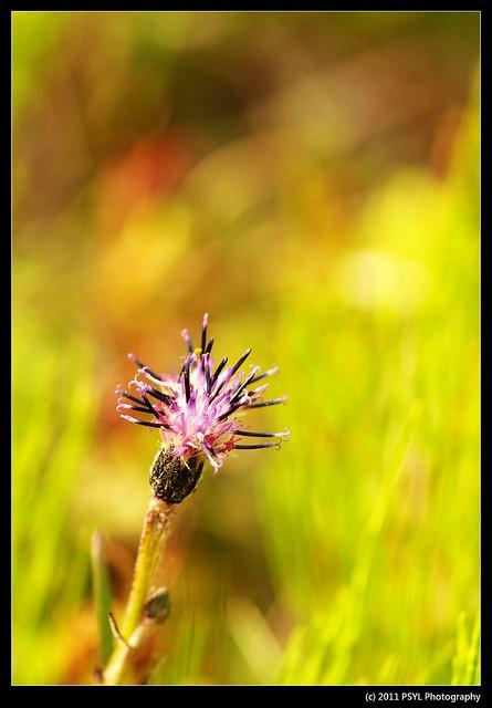 Saussurea (Saussurea angustifolia)