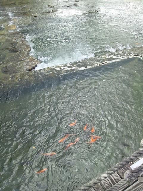 川のコイの写真
