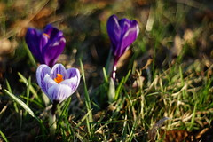 (**Alice**) Tags: flowers grass denmark 50mm purple bokeh violet mov crocuses flori sonderborg iarb wonderfulworldofflowers sony450 brndue