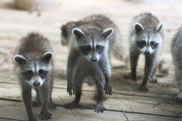 racoon_babies001