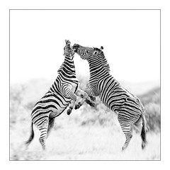 Fighting Stallions (ianweatherburn) Tags: africa male southafrica fight zebra stallion krugerpark kruger